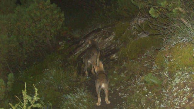 Jungwölfe des Calandarudels tappten 2014 in eine Fotofalle.