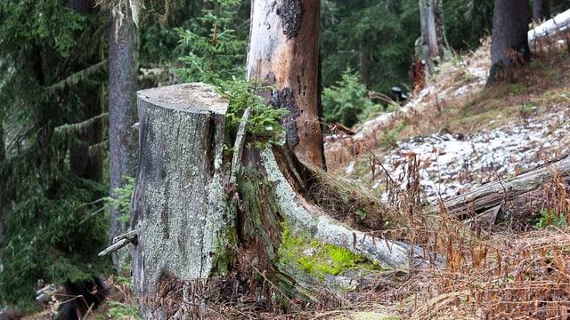 Wald mit Baumstrunk, auf dem ein junges Tännchen wächst.