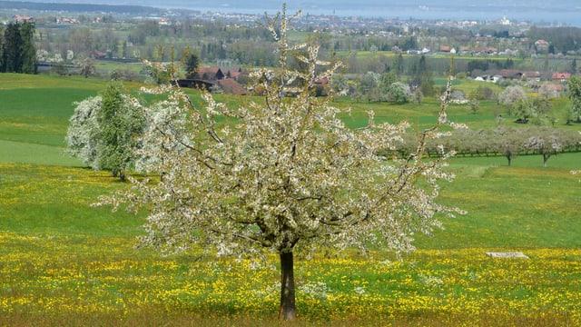 blühende Obstbäume im Thurgau.