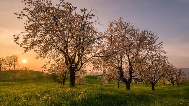 Kirschbäume in voller Blüte bei Sankt Verena im Kanton Zug