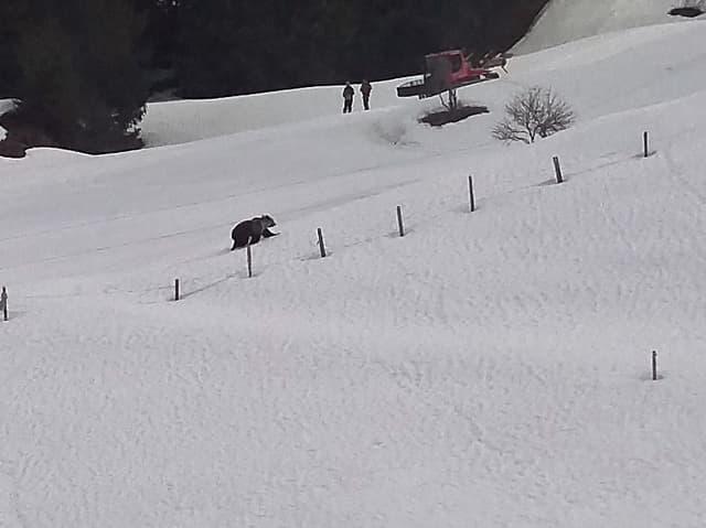 Ein Bär läuft über den Schnee.