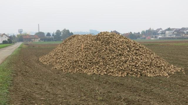 Ein Haufen Zuckerrüben auf einem Feld.