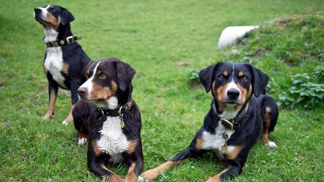 Drei Appenzeller Hunde