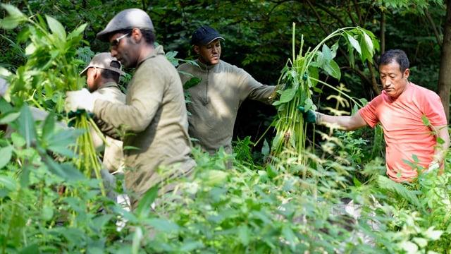 Drei Männer reissen grosse Pflanzen aus