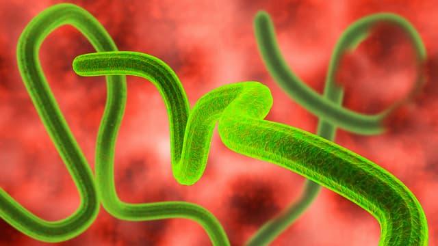 Partikel des Ebola Virus'