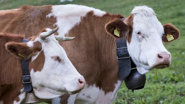 Kühe, eine mit, eine ohne Hörner