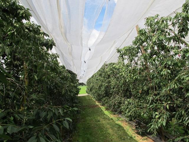 Kirschbäume unter Schutzabdeckung