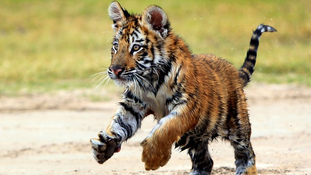 Ein junger Tiger