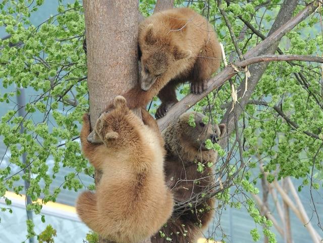 Zwei Jungbären klettern mit Bärenmutter auf den Baum.