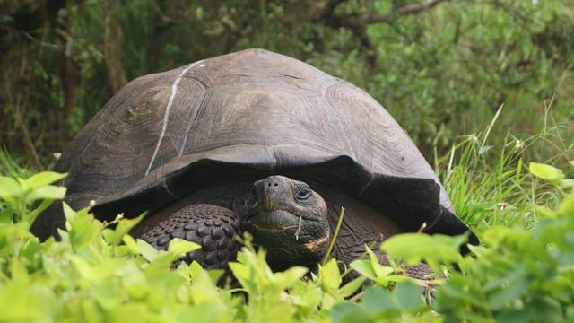 Neu entdeckte Schildkrötenart Chelonoidis donfaustoi auf der Insel Santa Cruz.
