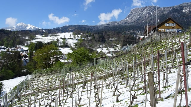Nach dem Wintereinbruch zeigt sich wieder der blaue Himmel über dem Rebberg.