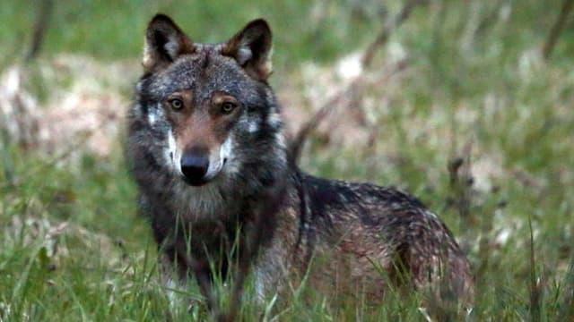 Wolf in einer Wiese