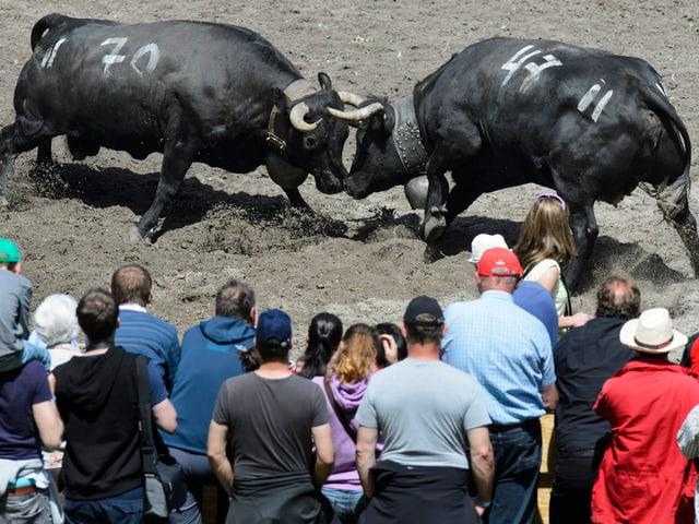Zwei Kühe kämpfen, Zuschauer im Vordergrund.