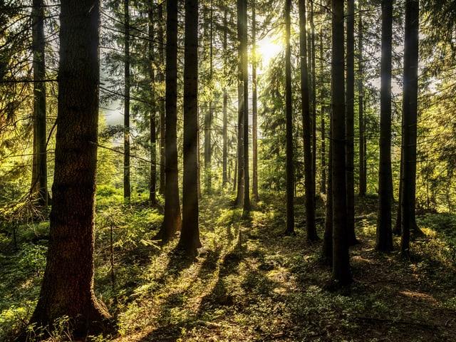 Wald, Sonne scheint durch die Baumstämme.