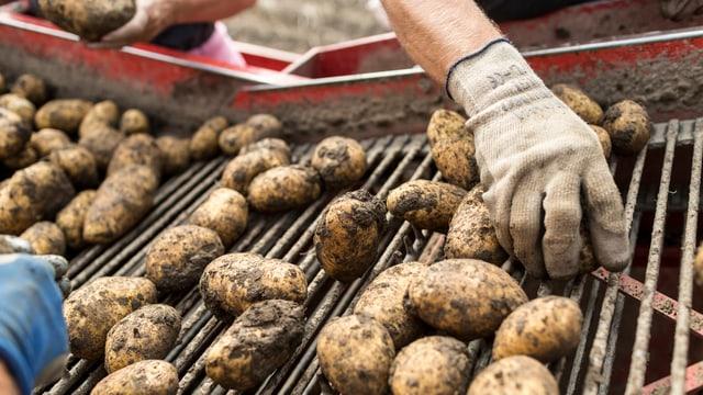 Kartoffeln werden auf einer Vollerntemaschine sortiert.
