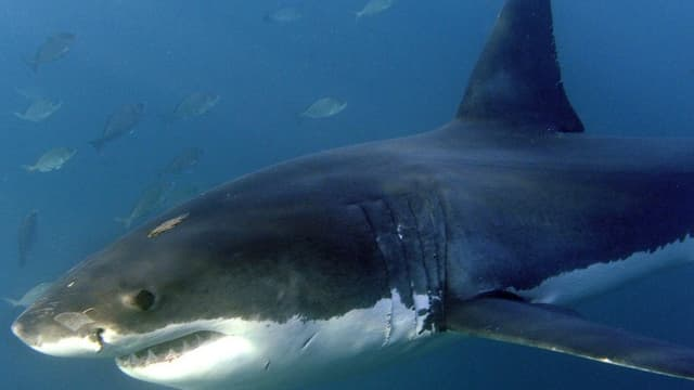 Ein Hai unter Wasser.
