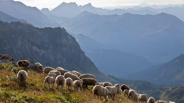 Schafe auf einer Alp. Blick ins Tal.