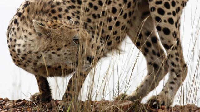 Ein Gepard in Habachtstellung