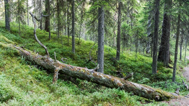 Liegender Baum