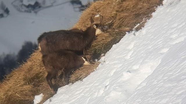 Gämse liegen mit dem Kopf im Schnee