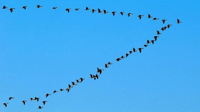 Wildgänse im Formationsflug.