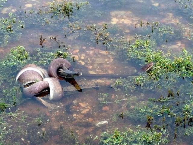 Eine Schlange um ein Krokodil gewickelt.