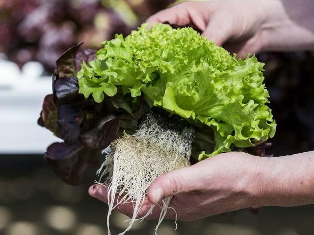 plantina da salata