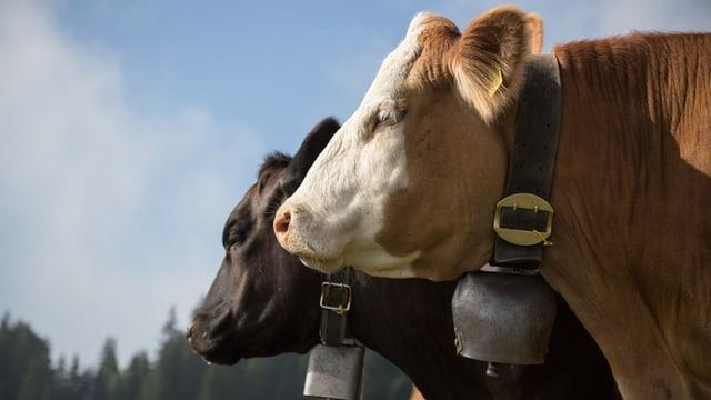 Hornlose Kuh