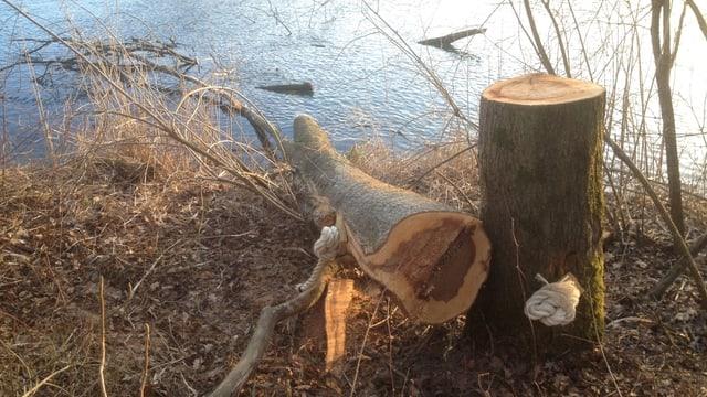 Gefällter Baum, mit Seil an Baumstamm befestigt