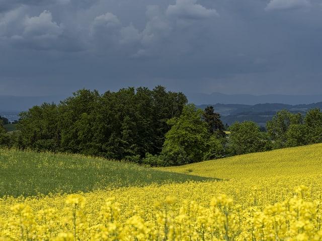 Ein blühendes Rapsfeld, dahinter Laubbäume und noch weiter hinten dunkle Regenwolken.