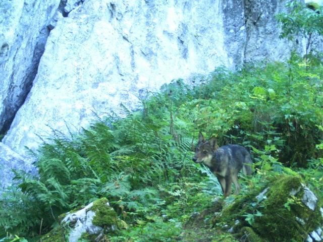 Wolfsjunges