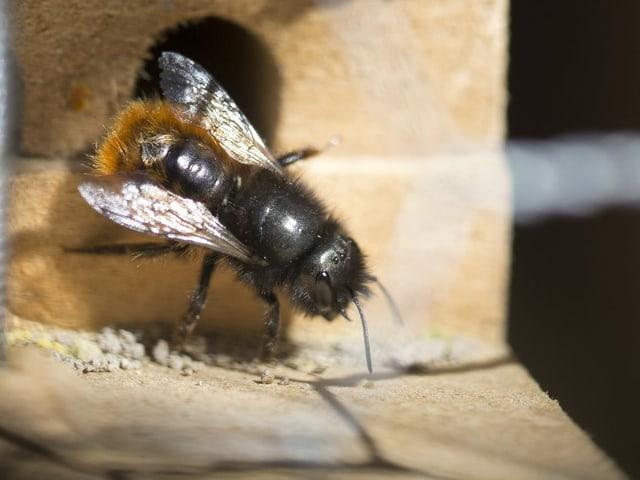 Wildbiene vor Schlupfloch