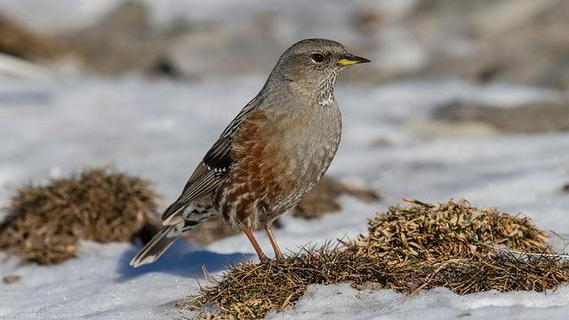 Ein Vogel im Schnee