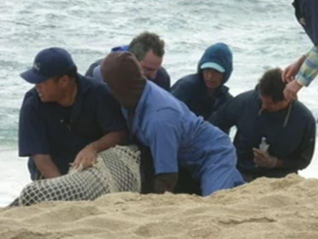 Das Rettungsteam hält die Robbe am Strand fest und wickelt sie in ein Netz ein. (NOAA Fisheries)