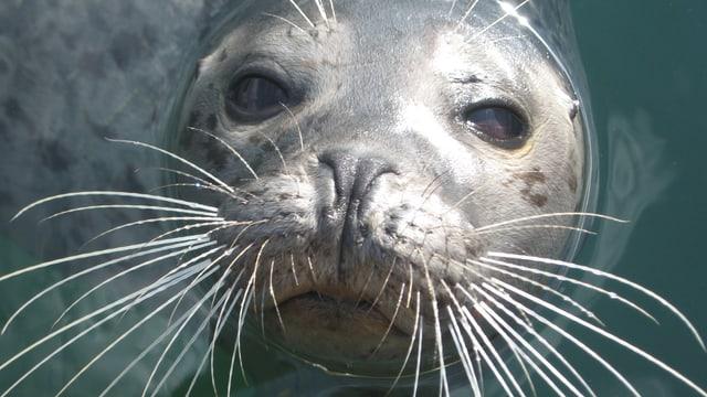 Ein Seehund des Robbenforschungszentrums in Rostock schaut in die Kamera.