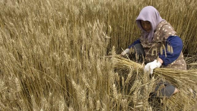 Eine Frau erntet Weizen in China.