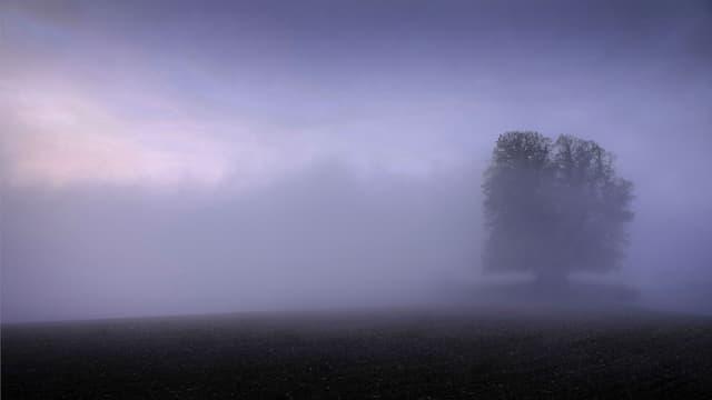 Linde von Linn im Nebel.