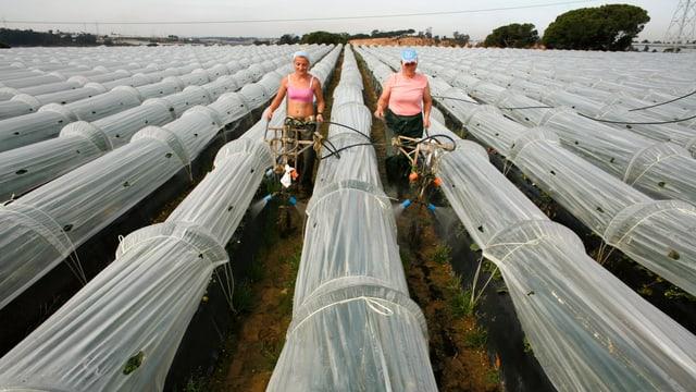 Zwei Frauen beim Bewässern von Erdbeeren unter Plastiktunnel.
