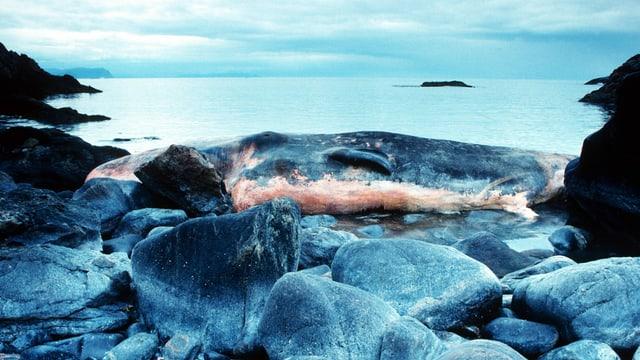 Pottwal-Kadaver in kleiner, steinigen Bucht, verwesend, Norwegen,