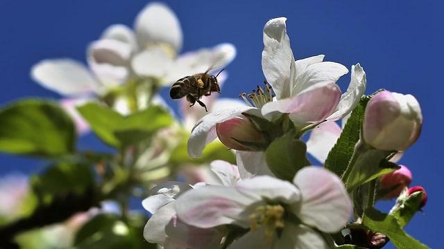 Biene bestäubt weisse Blume.