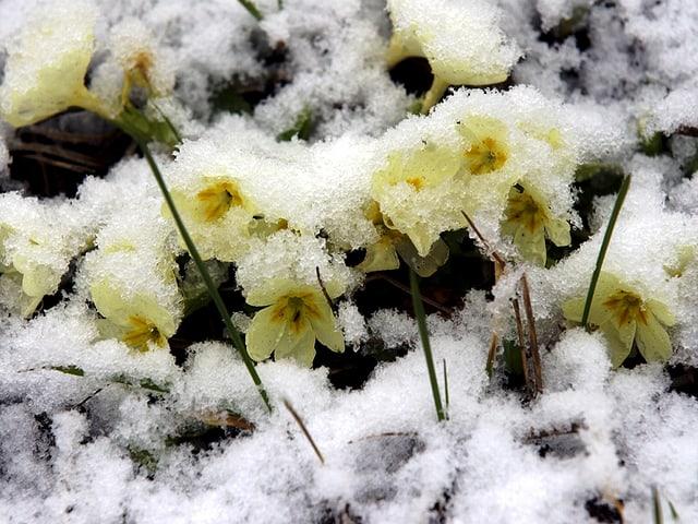 Gelbe Primeli und einer dünnen, nassen Schneedecke.