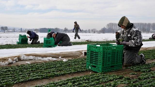 Mehrere Erntehelfer ernten kniend Nüssli-Salat.