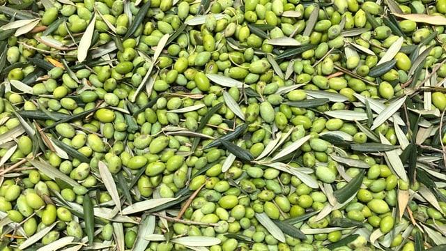 Geerntete Oliven