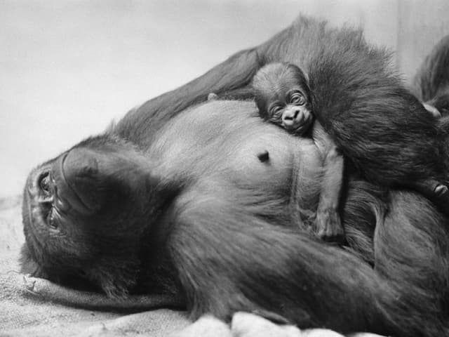 Gorilla liegt auf einem Tuch und hat ein Junges auf dem Bauch.