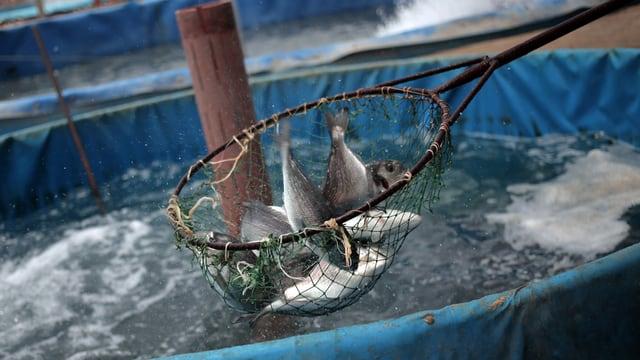 Fische in einem Netzt.