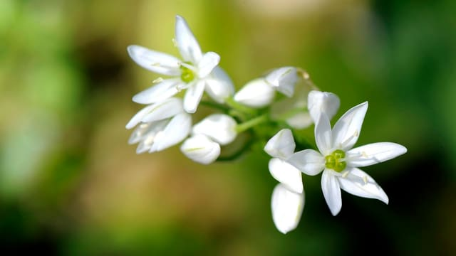 Bärlauch-Blüte.