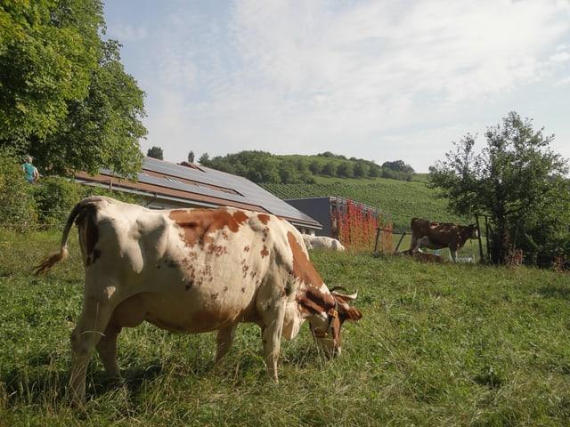Eine Kuh steht vor einem Gebäude mit Solarzellen.