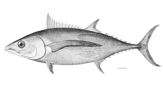 Der Weisse Thunfisch, dargestellt auf einer Illustration aus dem 19. Jahrhundert.