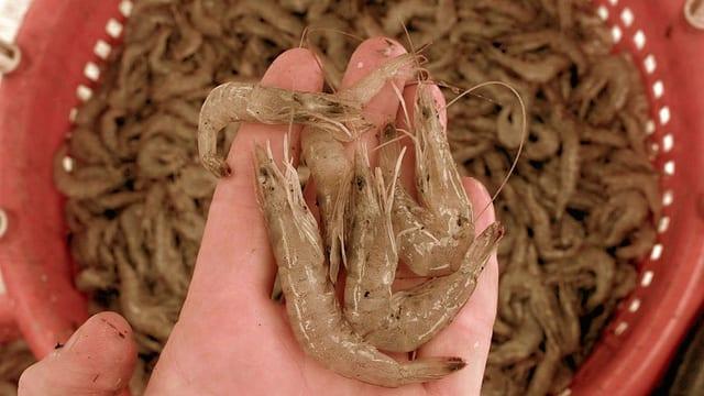 Handfläche auf der eine Ladung weiss-brauner Shrimps liegt
