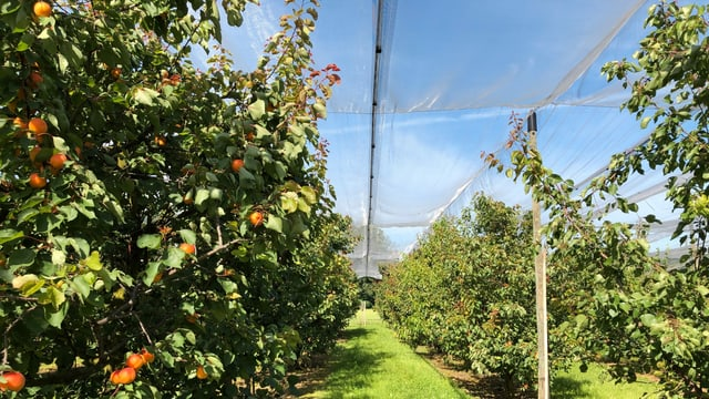 Aprikosenbäume unter einer Plastikfolie